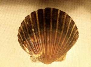 Picture of a scallop shell from Onset Beach, September 2018