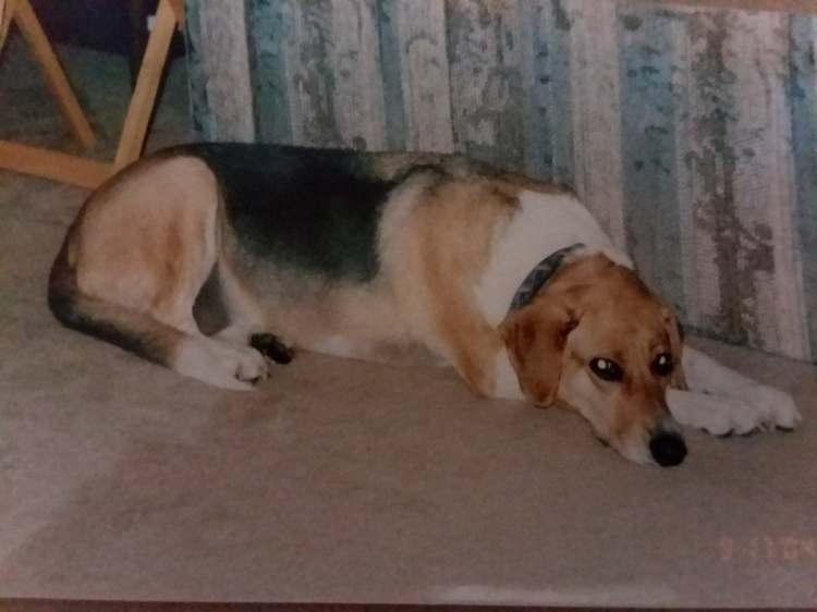 A picture of Roxanne laying behind the couch. She is a big, long dog who looks a little bit like a beagle on stilts.