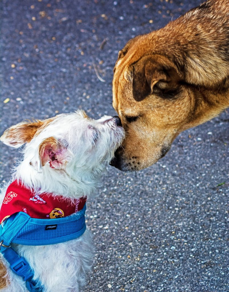 Close up picture of two dogs, a small white dog trying to make friends with a larger brown dog.