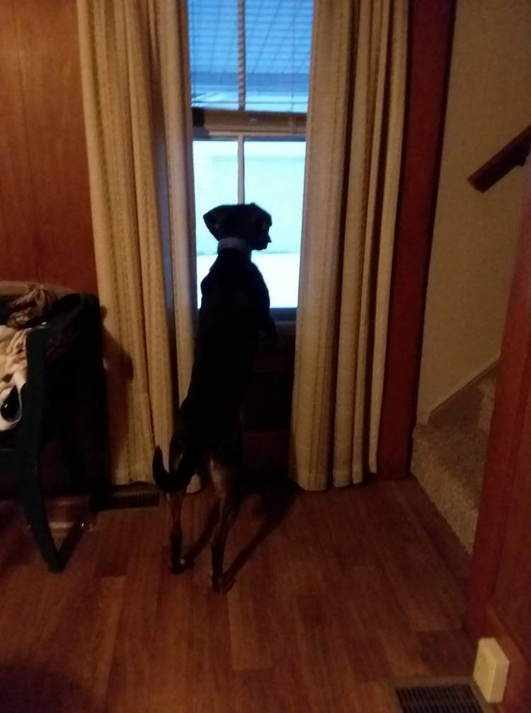 Picture  of Dog on her hind  legs, looking out the window.