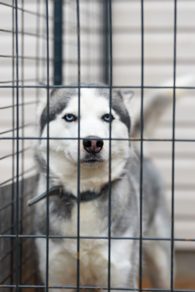 picture of a Husky in a crate