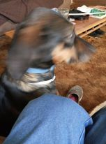 Picture of a black and tan dog, blurry because she moved her head.